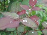 雨降りのアイリス畑