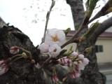 アイリスの桜も開花しました(^^♪
