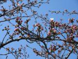 ♡桜の開花情報♡