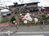 桜の開花情報+デイ通信♪